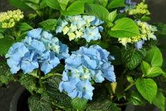 Couleur bleue d'hortensia, quelques morceaux Photos stock