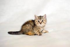 Couleur bringée de manteau de chaton Image libre de droits