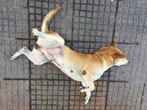 Couleur brune orange de chien dormant confortablement avec la rotation récepteur sur le plancher image libre de droits