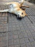 Couleur brune orange de chien dormant confortablement avec la rotation récepteur sur le plancher image stock