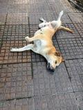 Couleur brune orange de chien dormant confortablement avec la rotation récepteur sur le plancher photo libre de droits