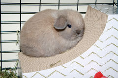 Couleur d'acte délictuel de Holland Lop Bunny Rabbit Blue de bébé Photos stock