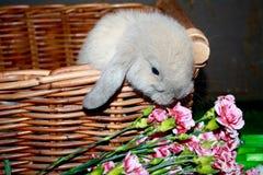 Couleur d'acte délictuel de Holland Lop Bunny Rabbit Blue de bébé dans le panier Photo stock