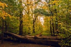 Couleur d'automne dans la forêt de Salcey le jour nuageux Photographie stock