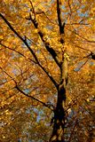 Couleur d'automne, plantation 11 d'orme de liège Images stock