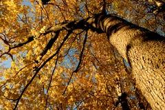 Couleur d'automne, plantation 12 d'orme de liège Photo libre de droits