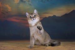 Couleur d'or de chinchilla britannique de chaton dans le désert Photographie stock