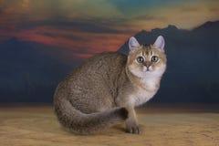 Couleur d'or de chinchilla britannique de chaton dans le désert Photos libres de droits