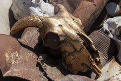 Couleur d'or de crâne de chèvre sur la chute Images libres de droits