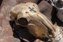 Couleur d'or de crâne de moutons dessus sur le métal et la chute rouillés Photo libre de droits