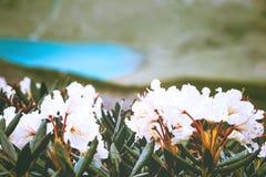 Couleur de blanc de fleurs de rhododendrons Image libre de droits
