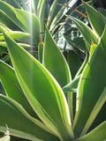 Couleur de cactus Image libre de droits