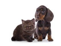 Couleur de chocolat de chiot et de chaton de teckel Photographie stock libre de droits