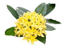 Couleur de jaune de géranium de jungle. photographie stock libre de droits
