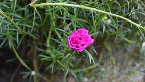 couleur de rose de fleur de Mousse-rose fleurissant, Timelapse banque de vidéos