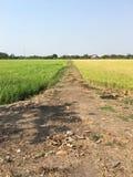 Couleur du gisement deux de riz Photographie stock libre de droits