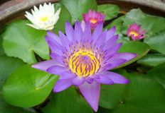 couleur du lotus trois Photos stock