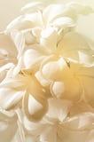 Couleur en pastel des fleurs de Frangipani Photos libres de droits