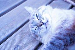Couleur gris-bleue de chat avec des yeux bleus photo stock