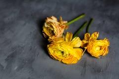 Couleur jaune de trois fleurs se trouvant sur le fond concret gris photographie stock libre de droits