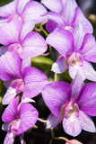 Couleur lumineuse d'orchidée Photo libre de droits