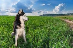 Couleur noire et blanche aux yeux bleus de chien de traîneau sibérien se reposant sur le champ vert clair Chien enroué de portrai Photographie stock libre de droits