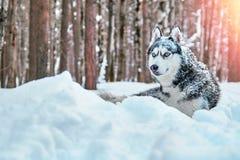Couleur noire et blanche de beau chien de chien de traîneau sibérien avec des yeux bleus se situant dans la neige dans l'espace d Photographie stock