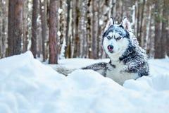 Couleur noire et blanche de chien beau de chien de traîneau sibérien avec des yeux bleus se situant dans la neige dans l'espace d Images stock