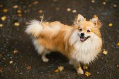 Couleur orange de beau spitz pomeranian Animal familier amical gentil de chien sur la route de campagne en parc pendant la saison image stock