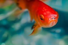 Couleur orange rouge lumineuse de poisson rouge de plan rapproché macro Images stock