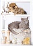 Couleur rare de chaton et spitz pomeranian Photographie stock