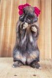 Couleur rouge-brun de lapin Image libre de droits