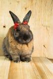 Couleur rouge-brun de lapin Image stock