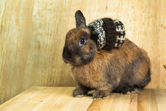 Couleur rouge-brun de lapin Photo libre de droits