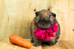 Couleur rouge-brun de lapin Photos stock