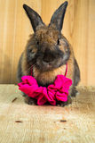 Couleur rouge-brun de lapin Photo stock