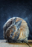 Couleur rouge-brun de lapin Photo libre de droits