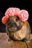 Couleur rouge-brun de lapin Photographie stock