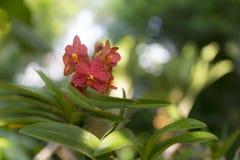 Couleur rouge d'orchidée de Phalaenopsis Image libre de droits