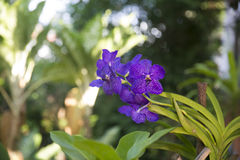 Couleur rouge d'orchidée de Phalaenopsis Images libres de droits