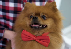 Couleur rouge de Pomeranian avec un lien de papillon Photos stock