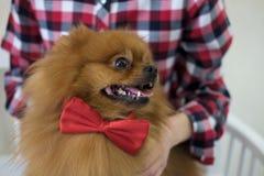 Couleur rouge de Pomeranian avec un lien de papillon Images libres de droits