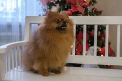 Couleur rouge de Pomeranian sur l'arbre de Noël Photo libre de droits