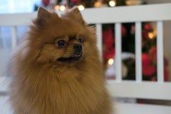Couleur rouge de Pomeranian sur l'arbre de Noël Images stock