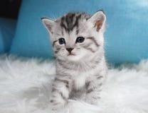 Couleur tigrée de chaton mignon Chaton Photographie stock libre de droits