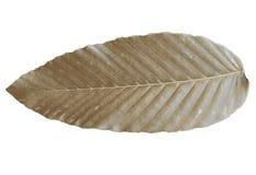 Couleur tropicale s?che de feuilles de Brown d'isolement sur les milieux blancs photos stock