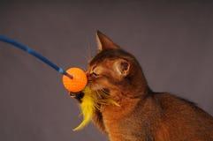 Couleur vermeille de chaton somalien image stock