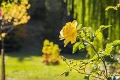 Couleur vert jaunâtre de fond naturel RO parfumé jaune de jardin photo libre de droits