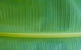 Couleur verte de feuille de banane Images libres de droits