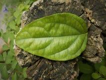 Couleur verte de texture de feuilles sur vieux en bois photographie stock libre de droits
